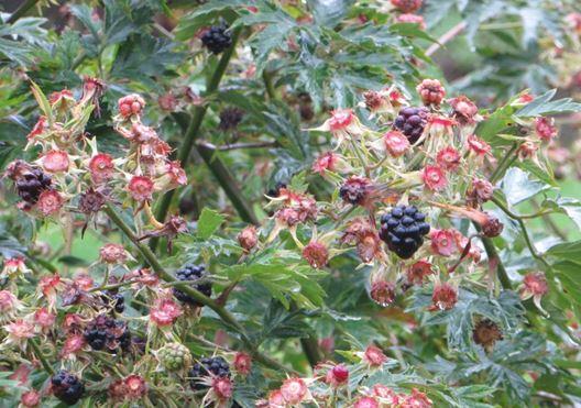 Brombeeren Pflanze mit Brombeere. Gesehen im Schrebergarten im September