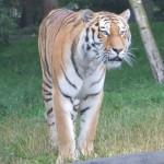 Tiger im Tierpark Hagenbeck