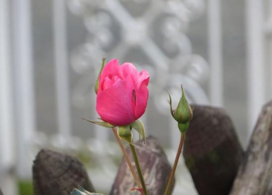 Blühende Rose im Herbst 2014