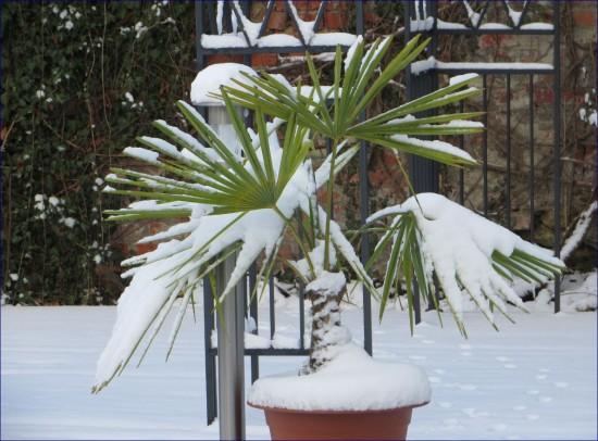 Eine mit Schnee bedeckte winterharte Palme im Garten
