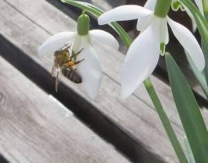 Mein Frühlingsfoto - Die Biene beim Naschen erwischt