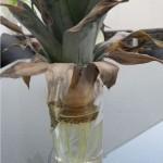Ananas wurzeln – Ananas selber ziehen