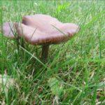 Pilze auf dem Rasen – Zwei Fotos