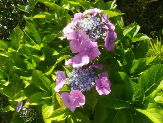 Blühende Hortensie